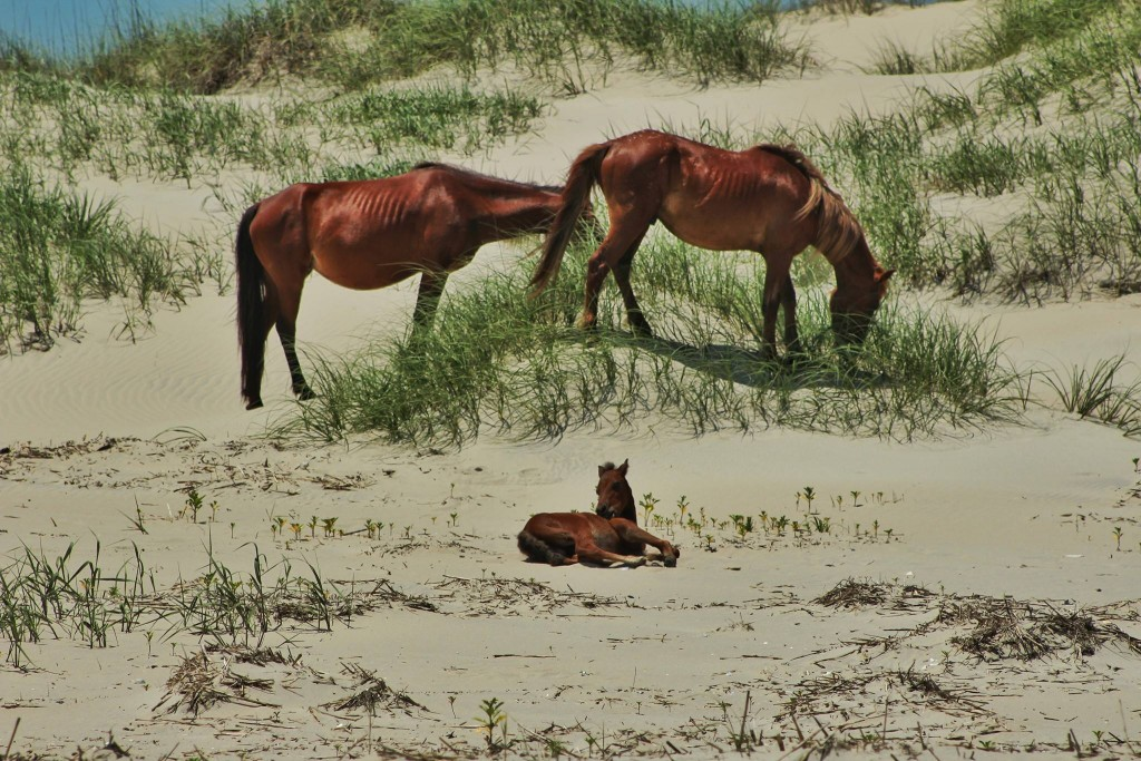 Wild Spanish Mustangs of Corolla / Outer Banks NC