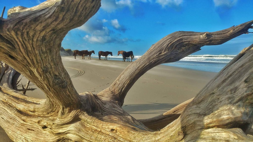 Outer Banks Wild Horses / Outer Banks NC